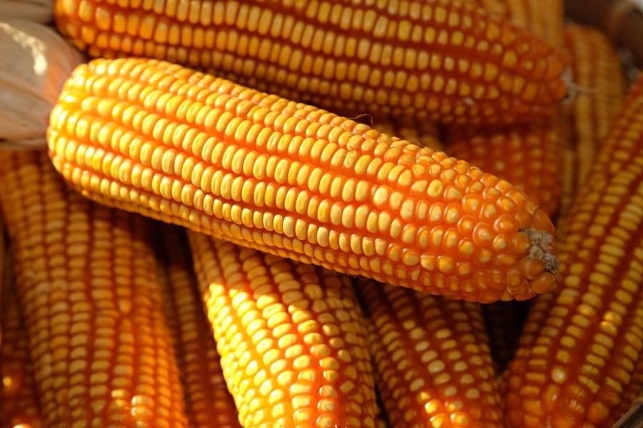 invistaja.info - Depois de forte rali, preços do milho caem ao menor patamar de maio e soja desacelera