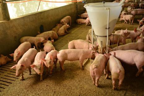 invistaja.info - Número de suínos na China mostra recuperação quase total após surto de peste